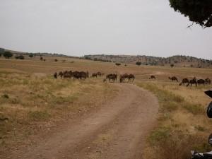 Kamelherde versperrt den Weg