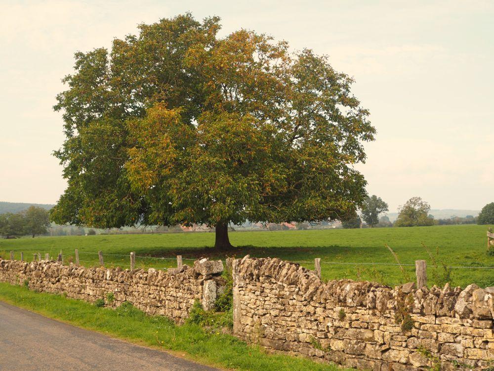 Baum im Brionnais